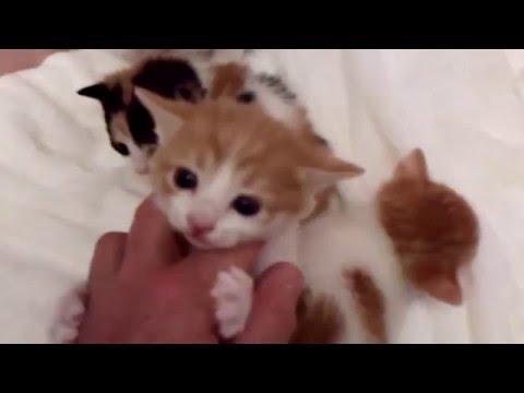 Klassy Litter of Four Japanese Bobtail Kittens - Born 3/28/16