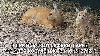В ПРИМОРСКОМ САФАРИ-ПАРКЕ РОДИЛСЯ КОСУЛЁНОК. 13 ИЮНЯ 2018 Г.