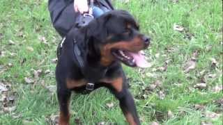 Huge Rottweiler Walking In The Park In A Genuine Leather Harness For Training