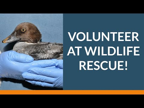 What's It Like to Volunteer at Wildlife Rescue? | Wildlife Rescue Association of BC