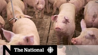 china considering halting all meat imports from canada