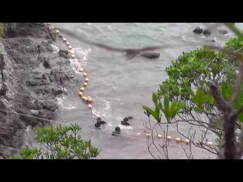 Taiji, Japan - Pilot whales tethered before slaughter