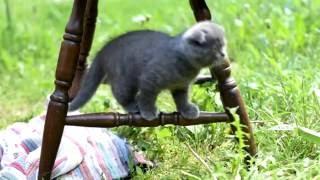 Видео котят Скоттиш фолд и Скоттиш страйт