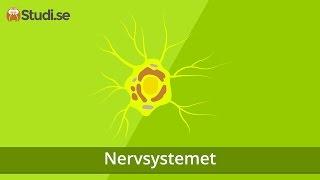 Nervsystemet (Biologi) - Studi.se