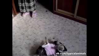 Приколы про животных,танцующие собаки!