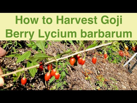 Harvesting Goji Berry