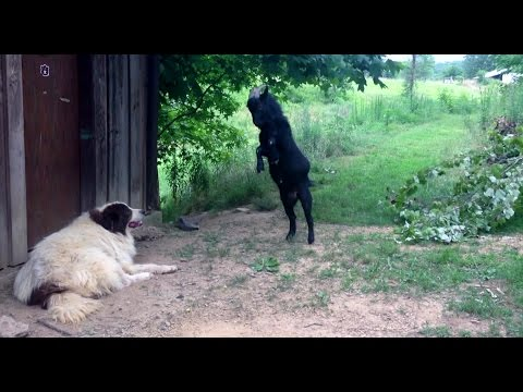 Crazy goat annoying the dog