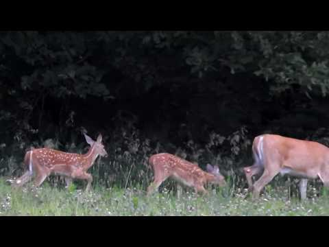 Spotted Fawns with Mother Whitetail deer by WillCFish Tips and Tricks.