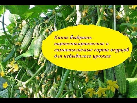 Какие выбрать партенокарпические и самоопыляемые сорта огурцов для небывалого урожая