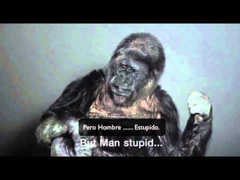 Download Koko el gorila que habla con humanos, tiene un mensaje urgente