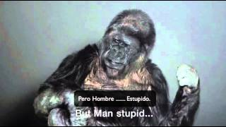 Koko el gorila que habla con humanos, tiene un mensaje urgente