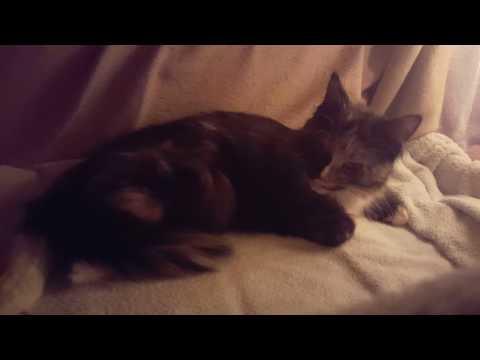 Maine Coon Geburt / Katzen Geburt ♡