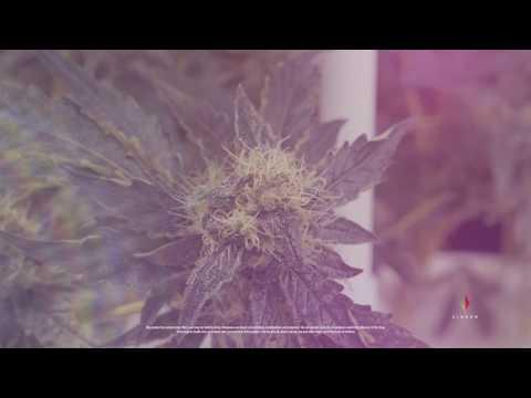 Cannabis Farm Tour - The Virginia Company [4k]