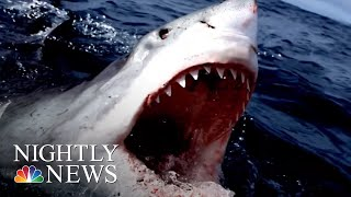 Scares Prompt Beach Closures, What Are The Facts On This Widely Feared Fish? | NBC Nightly News
