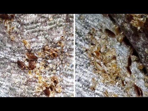 Tony Mott - Hundreds Of Bed Bugs Hide In Sofa