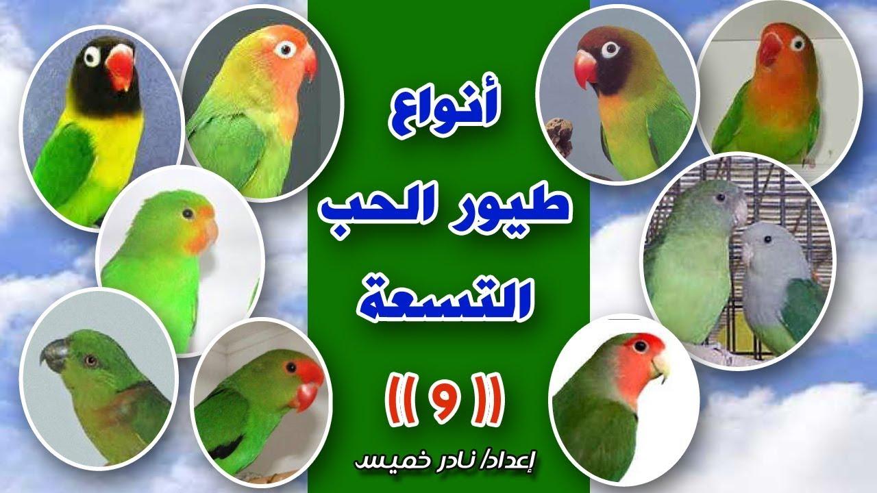 أنواع طيور الحب شرح بالصور Types Of Love Birds Youtube
