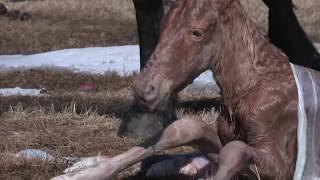 рождение жеребенка