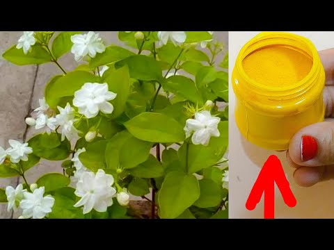ये चीज़ डालने से मोगरे/Jasmine पर इतने फूल आएँगे की पूरा घर महक उठेगा।Grow more flowers on Jasmine