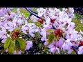 Сакура Цветущая Сакура Японская Вишня Цветение Сакуры Цветущая Японская Вишня Футаж Сакура mp3