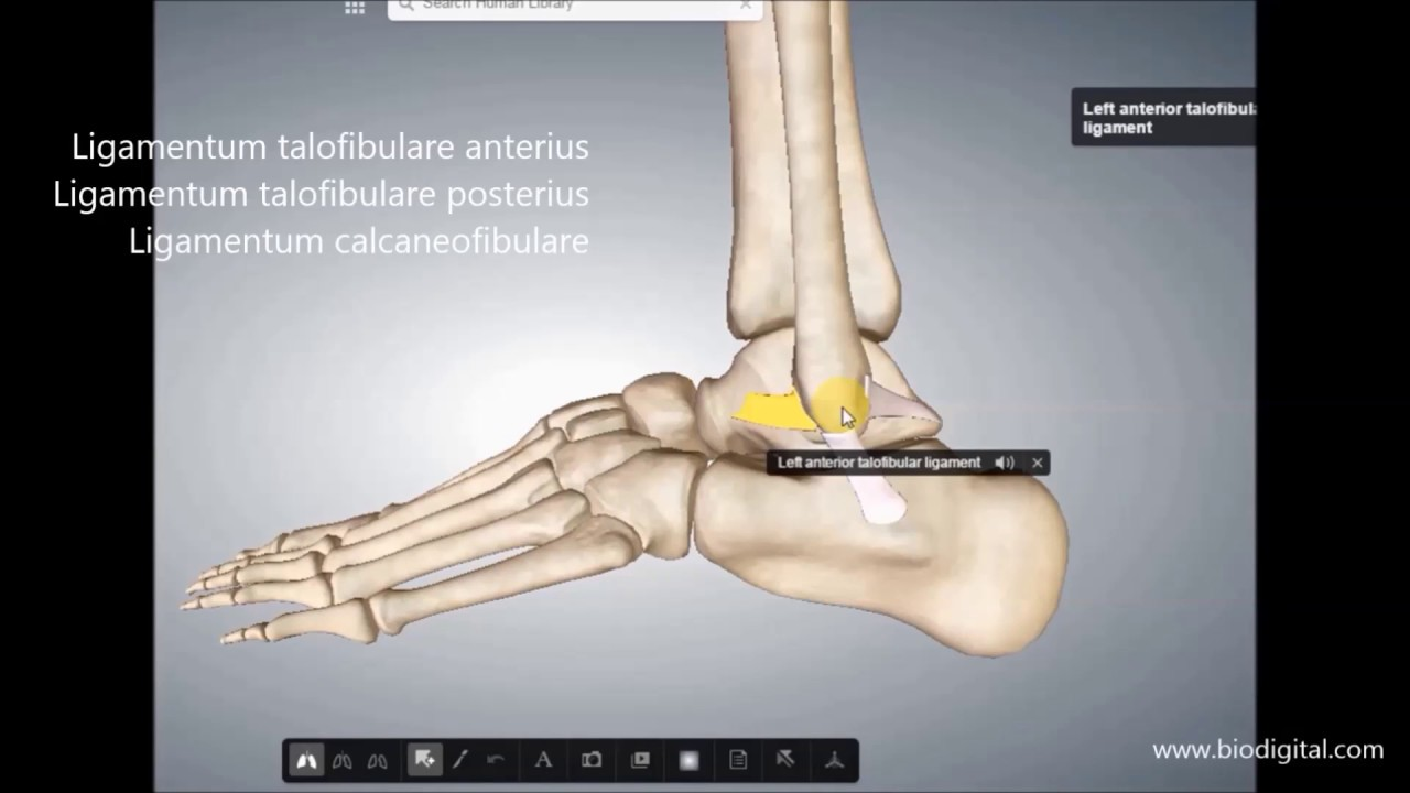 Bänder und Bewegungsausmaß Fuß - YouTube