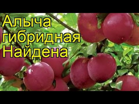 Алыча гибридная Найдена. Краткий обзор, описание характеристик Prunus Rossica Naidena