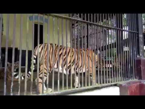 Asian Tiger in Yangon Zoo