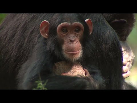 NASA Partners with Jane Goodall Institute to Protect Chimpanzees