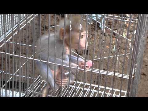 Khỉ ăn kẹo Chupa Chups - Chợ Hàng Hải Phòng.