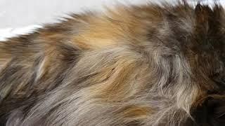 Как шевелятся котята в животе кошки. За три дня до родов. Беременная кошка Мейн-кун