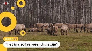 Konikpaarden uit Nederland hebben het nu beter