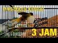 Masteran Suara Kenari Durasi Panjang 3 Jam Paling Ampuh Terbaru Full isian(.mp3 .mp4) Mp3 - Mp4 Download