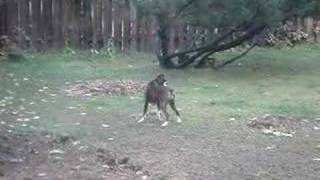 Simian Farmer: Boxer Attacking A Roll Of Twine