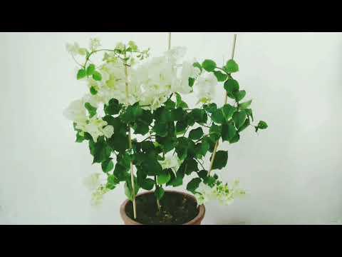Вопрос: Трудно ли выращивать цветок Бугенвиллии Какие секреты выращивания?