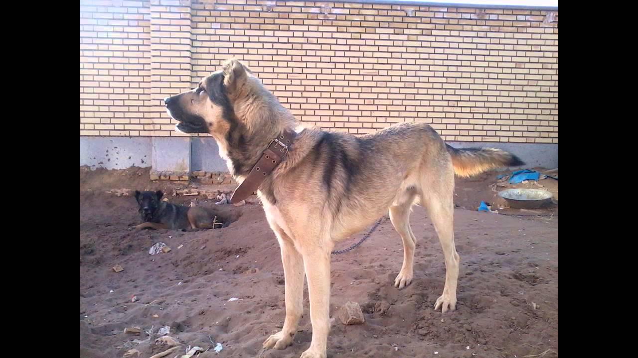Iranian Sarabi Dogs Youtube