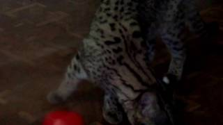 Кошка Жоффруа и Полосатый мангуст 04.01.17