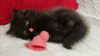 Kitten goes wild over his toy!!! Guaranteed to put a smile on your face!