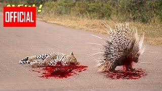 Самое Удивительное Диких Животных Атаки Дикобраз Убивает Питона И Леопарда   Живо