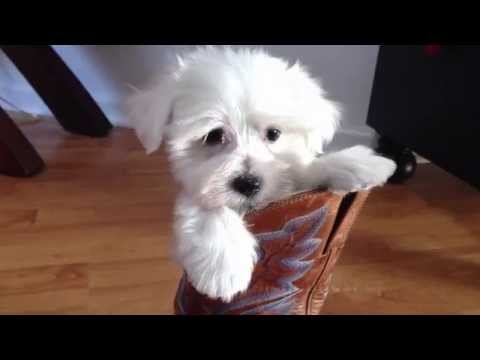 Maltipoo Or Maltese Poodle Pups For Sale In Ocala Florida