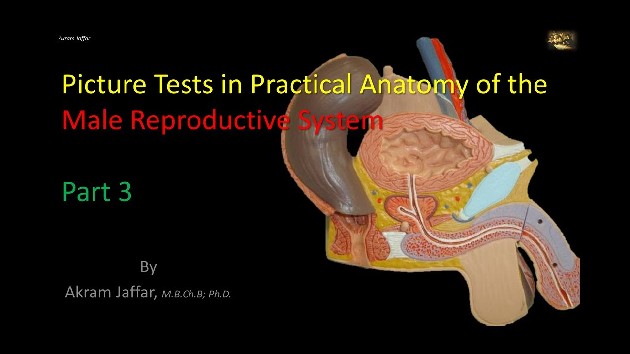 Picture Tests In The Anatomy Of The Male Reproductive System 3 Youtube