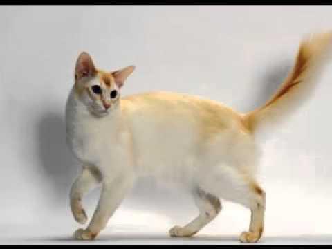 Color point shorthair cat