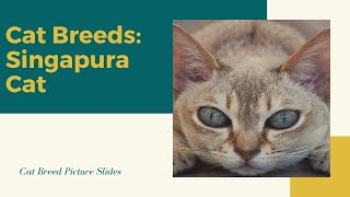Singapura Slides  Cat Breeds