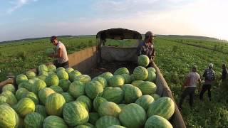 R&R Harvesting, Cordele GA