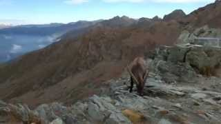 Surrounded by ibex in Italian Alps - trekking-alps.com