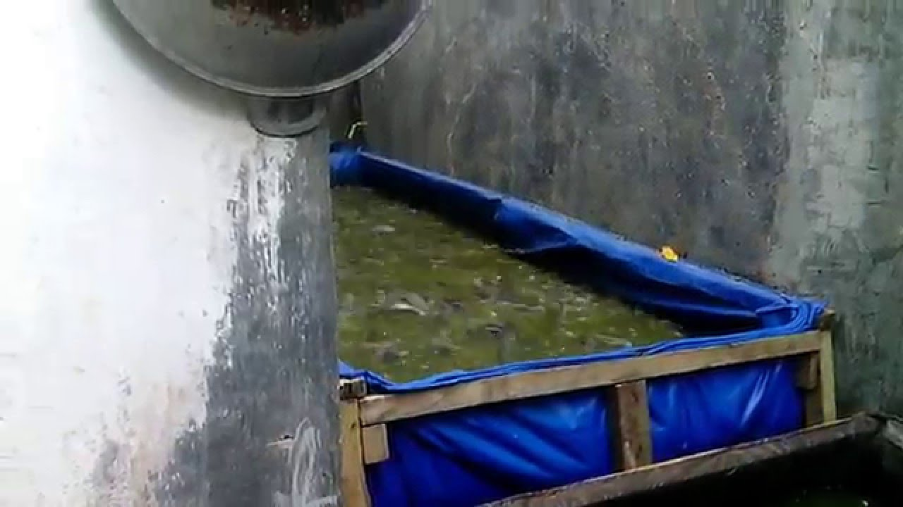 Budidaya Lele di Kolam Terpal - YouTube