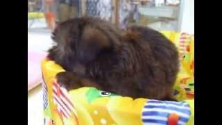 ぶさかわ犬のグリちゃん♡ ベッドがお気に入りなんです\(^o^)/ つぶら...