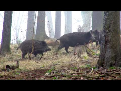 Hunting: wild boar