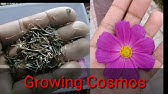 Cosmos Flower Ki Seedling Krna Ka Treeka Urdu Hindi Youtube