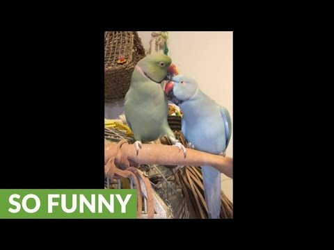Parrot kisses brother, says 'I love you'