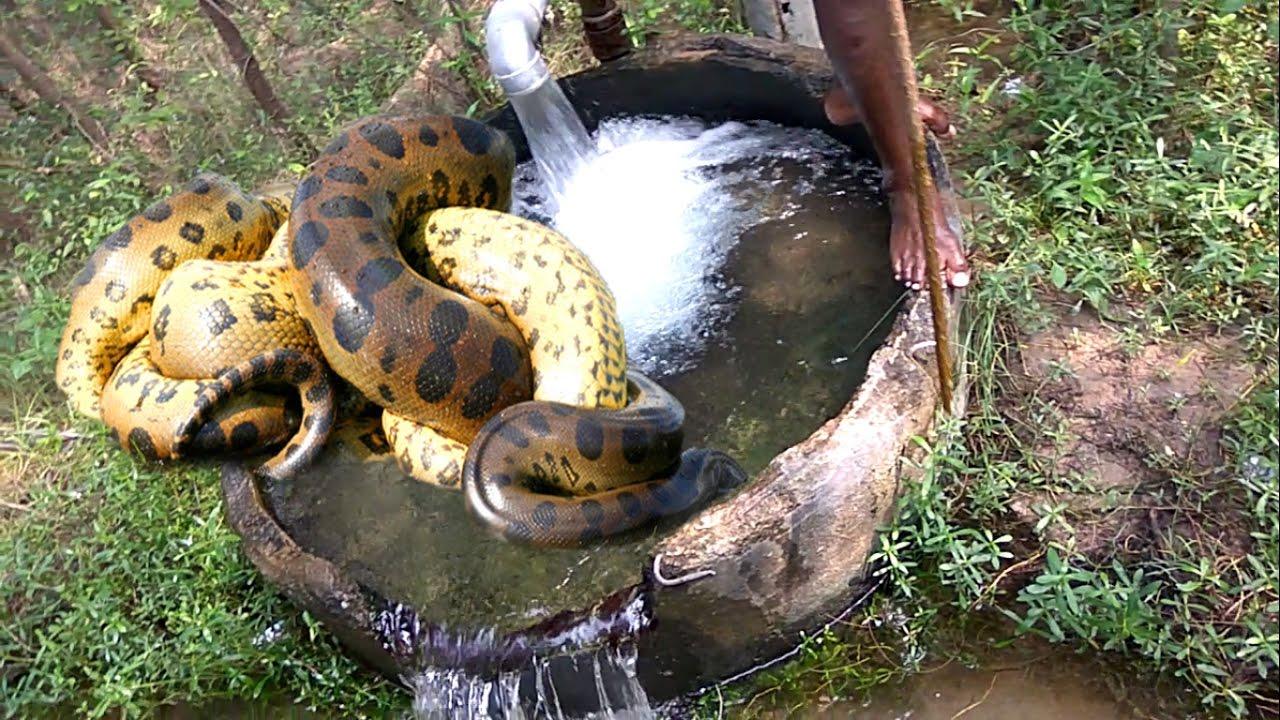 King Cobra Land Snake Catch My Friends In My Village