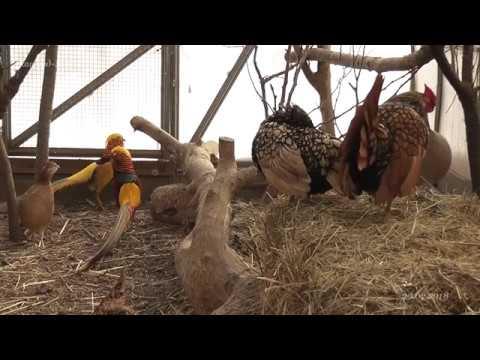 Золотой фазан (Golden pheasant) и его звуки во время брачных игр